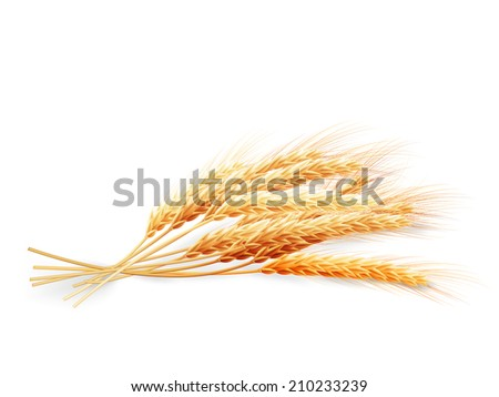 Wheat ears isolated on white background. EPS 10 vector file included - stock vector