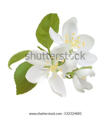 White apple flowers isolated on white background. Vector illustration - stock vector