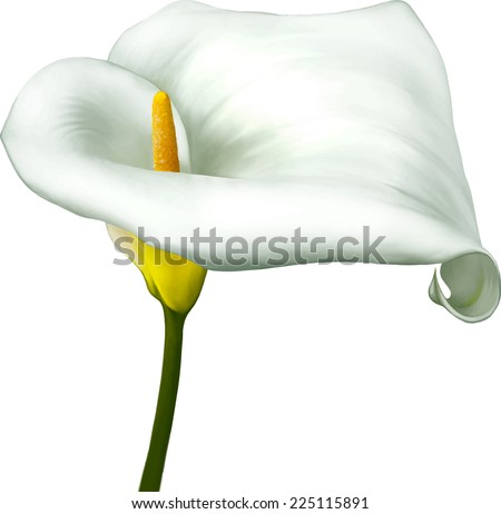 white calla lily isolated on a white background - stock vector