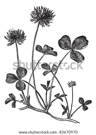 White Clover or Trifolium repens, vintage engraved illustration. Trousset encyclopedia (1886 - 1891). - stock vector