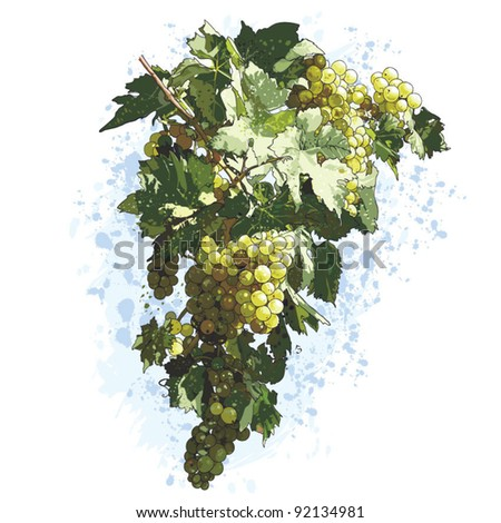 White Grapes With Leaves, vector Drawing - stock vector
