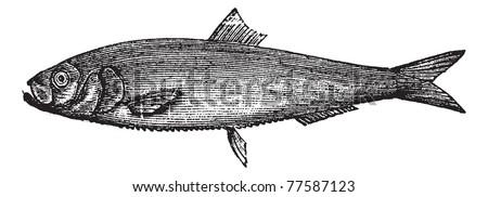 White herring vintage engraving. Old engraved illustration of salted white herring. Trousset Encyclopedia - stock vector