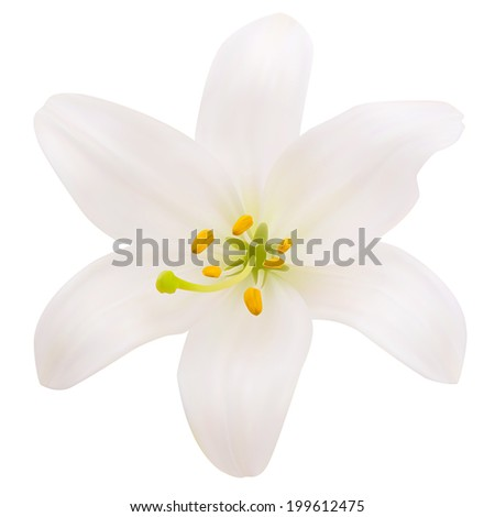 White lily. Photo-realistic Vector illustration. Isolated on white - stock vector
