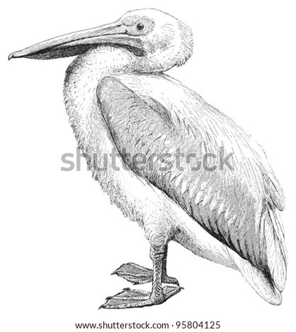 White Pelican (Pelecanus onocrotalus) / vintage illustration from Meyers Konversations-Lexikon 1897 - stock vector