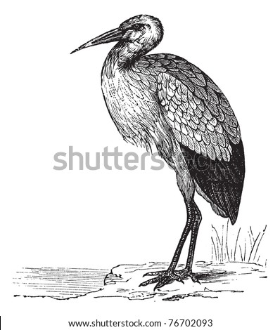 White Stork or Ciconia ciconia, vintage engraving. Old engraved illustration of a White Stork. Trousset Encyclopedia - stock vector