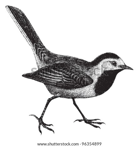 White Wagtail (Motacilla alba) / vintage illustration from Meyers Konversations-Lexikon 1897 - stock vector