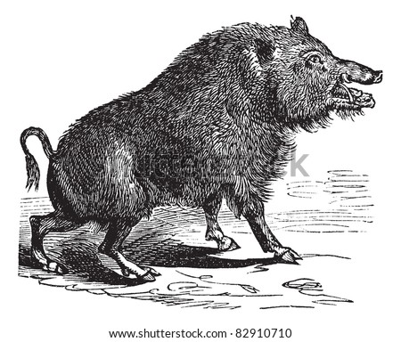Wild boar or Sus scrofa or Wild pig or Wild hog or Razorback or Boar or European Boar, vintage engraving. Old engraved illustration of Wild boar. Trousset encyclopedia (1886 - 1891). - stock vector