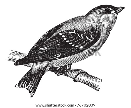 Wild Canary or American Goldfinch or Eastern Goldfinch, vintage engraving. Old engraved illustration of a Wild Canary. Trousset Encyclopedia - stock vector