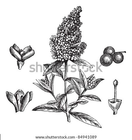 Wild Privet or Common Privet or European Privet or Ligustrum vulgare, vintage engraved illustration. Trousset encyclopedia (1886 - 1891). - stock vector