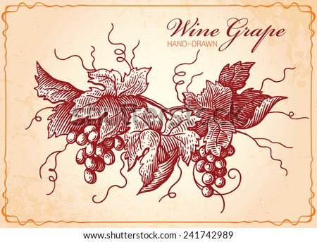 Wine Grapes Vintage Style Illustration Vector - stock vector