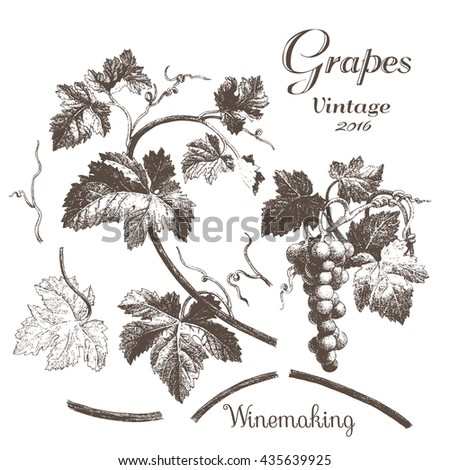Winemaking 2. Hand drawn illustrations with grapes and leaves on a white background. Ink pen picture in vector - stock vector