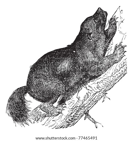 Wolverine or Gulo luscus or Gulo gulo or Carcajou or Glutton or Skunk bear or Quickhatch or Gulon, vintage engraving. Old engraved illustration of Wolverine climbing on the tree. Trousset Encyclopedia