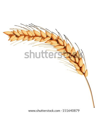 Yellow crop wheat - stock vector