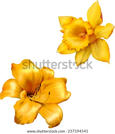 Yellow lily. Daffodil flower or narcissus isolated on white background cutout - stock vector