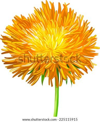 Yellow  Thistle flower, aster flower, Illustration isolated on white - stock vector