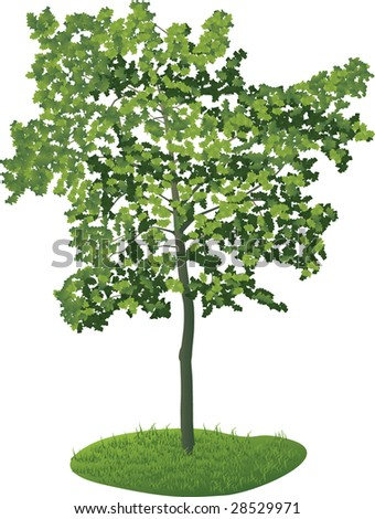 Young maple - stock vector