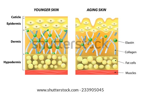 younger skin and aging skin. elastin and collagen. A diagram of younger skin and aging skin showing the decrease in collagen and broken elastin in older skin. - stock vector