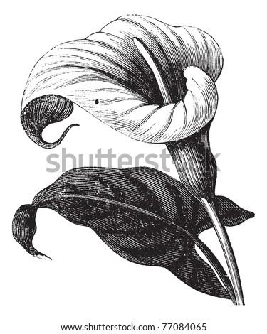 Zantedeschia aethiopica also known as Richardia Africana, flower, vintage engraved illustration of Zantedeschia aethiopica, flower, isolated against a white background. Trousset encyclopedia. - stock vector