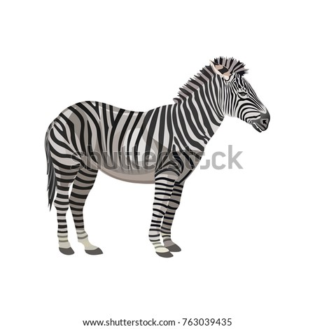 Zebra standing. Vector illustration isolated on the white background