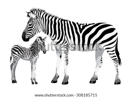 Zebra with a foal. Vector illustration. - stock vector