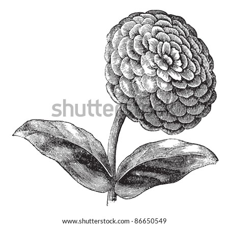 Zinnia or Zinnia elegans or Common zinnia or Youth-and-old-age, vintage engraving. Old engraved illustration of Zinnia isolated on a white background. Trousset encyclopedia (1886 - 1891). - stock vector